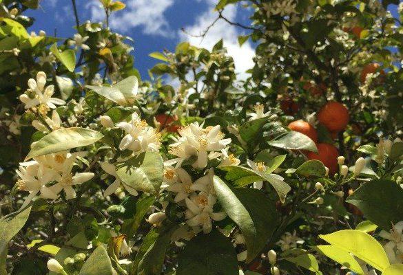 Sinaasappelappelbloesems